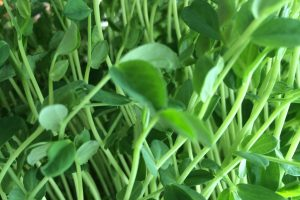 Organic sprouts for health